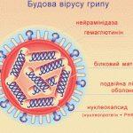 Віруси грипу – небезпечні вороги імунітету