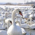 Що таке «пташиний грип» і на скільки він небезпечний для людини?