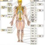Особливості застосування сучасної медичної та анатомічної термінології