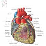 Здорове серце: морфофункціональна характеристика